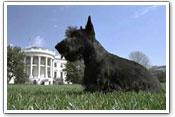 George Bush's dog Barney in 2004